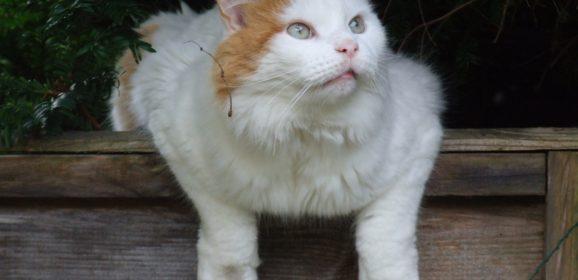 Le Turc de Van : un chat unique